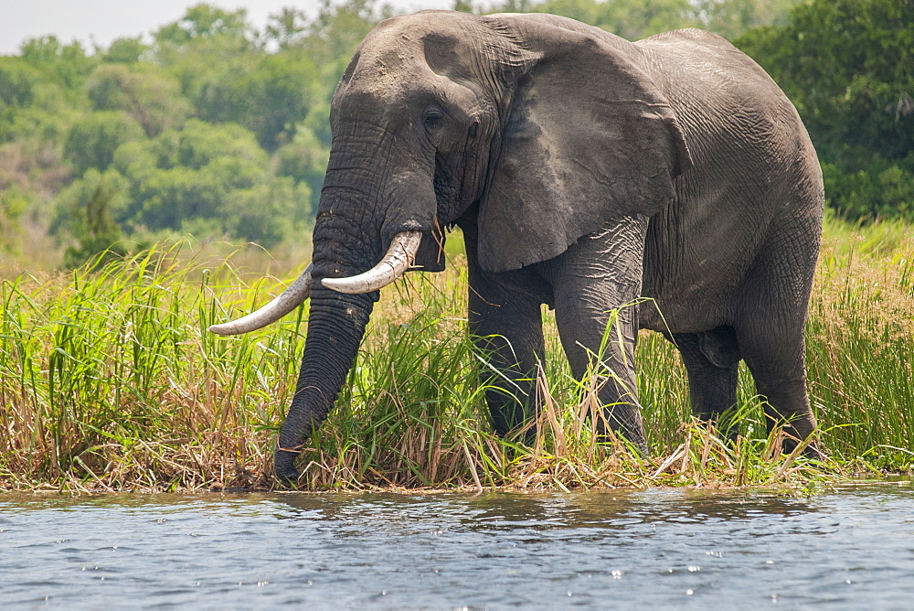 An African elephant feeds on the long grass on the banks of the river Nile in Uganda.