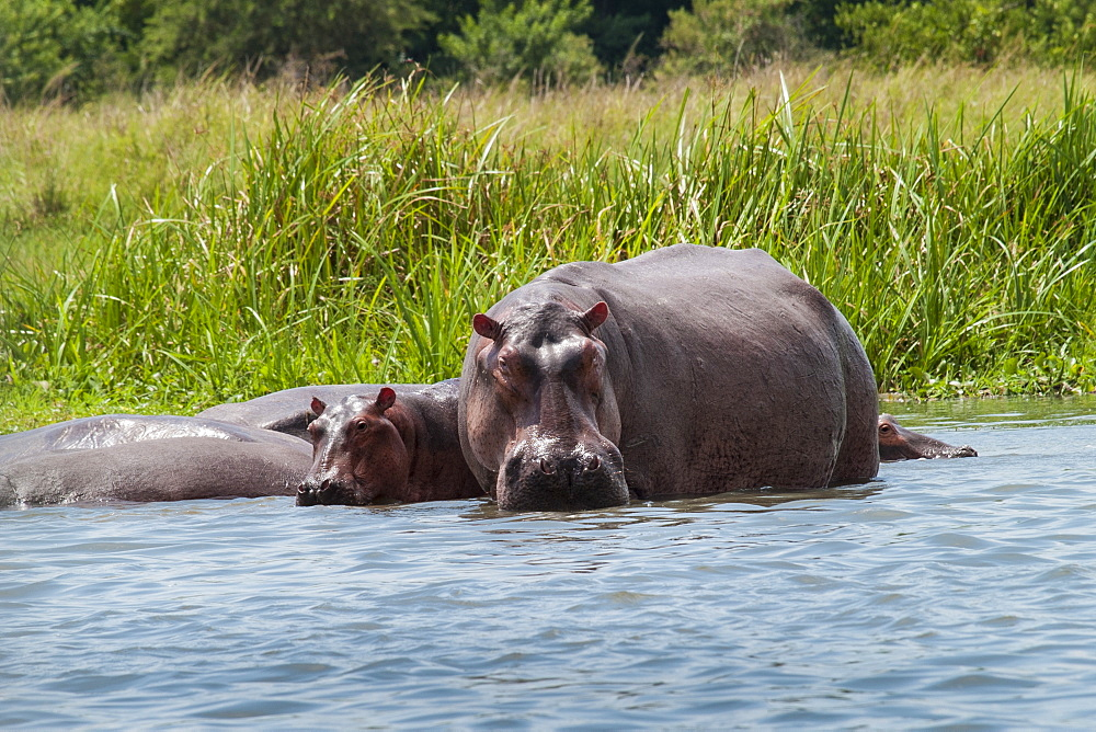An adult and baby hippo in the shallows near the bank of the river Nile. - 1270-112