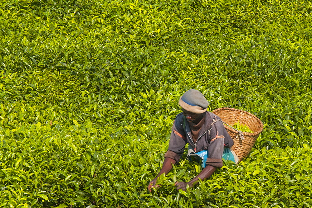 A tea picker picking tea in the South of Rwanda, Africa