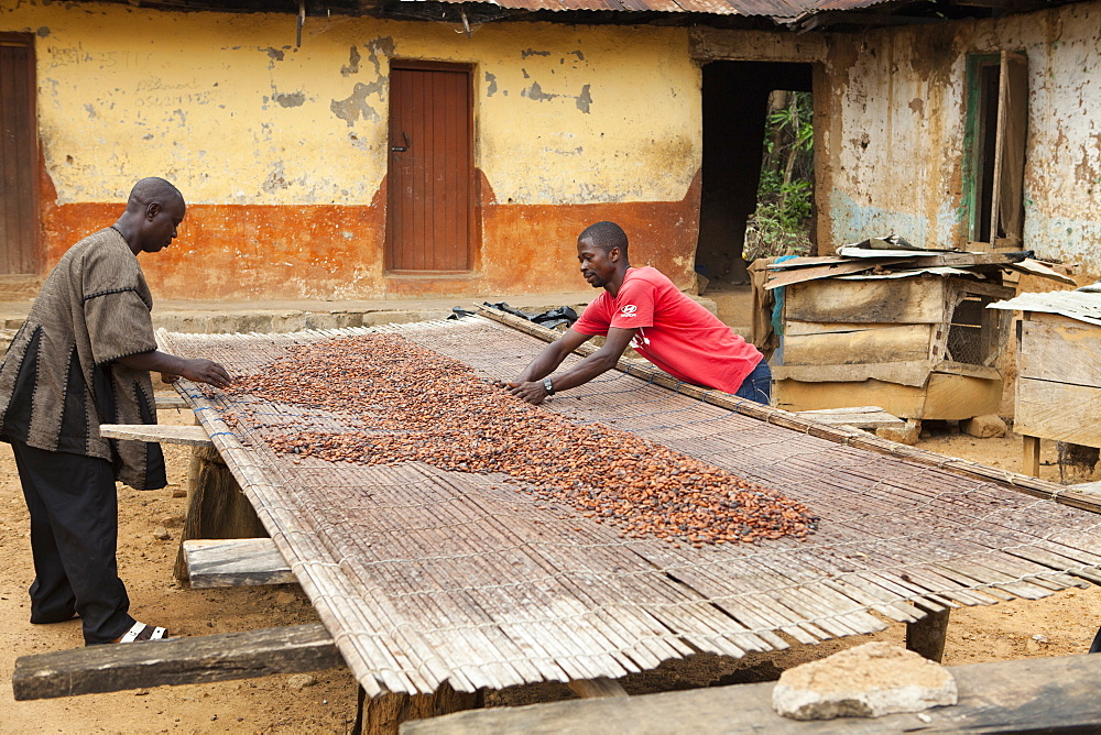 Two cocoa farmers lay out their cocoa beans on bamboo matting to dry in the sun, Ghana, West Africa, Africa