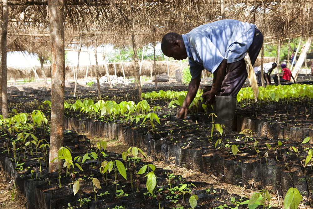 A man tends to small cocoa trees at a cocoa nursery in Ghana, West Africa, Africa