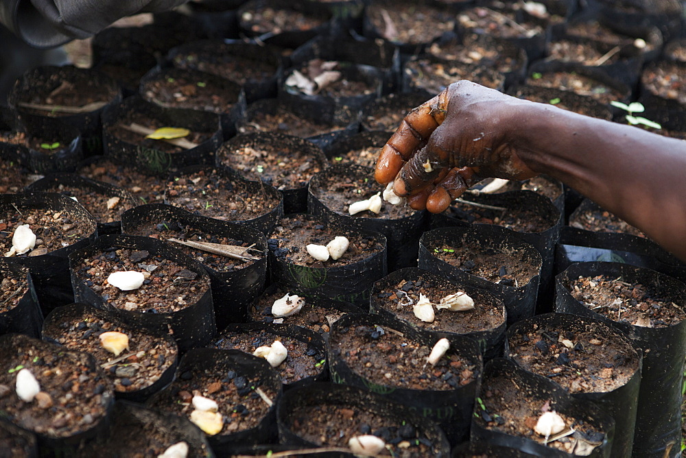 Cocoa beans being planted at a cocoa nursery in Ghana, West Africa, Africa