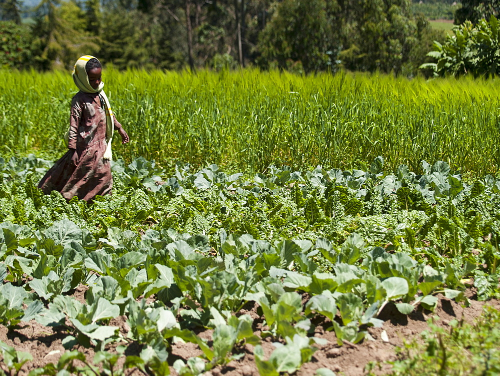 A young girl runs through a field of cabbages, Ethiopia, Africa - 1270-23
