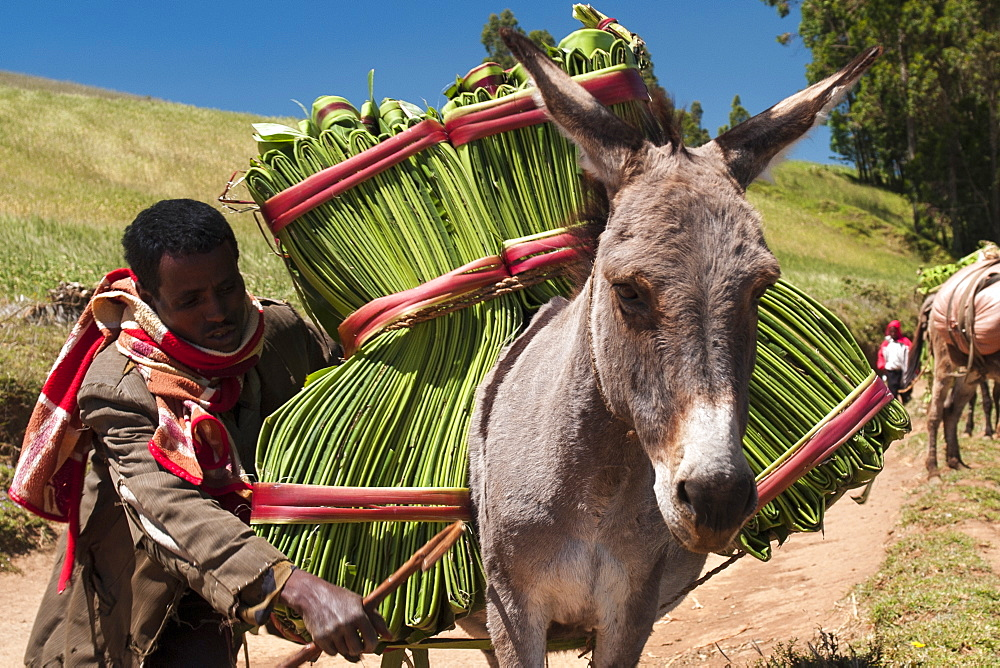 A man steers his donkey carrying banana leaves, Ethiopia, Africa