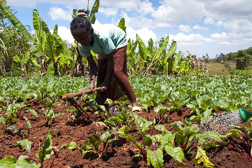 A young girl helps to weed the field of cabbages on her family farm, Ethiopia, Africa