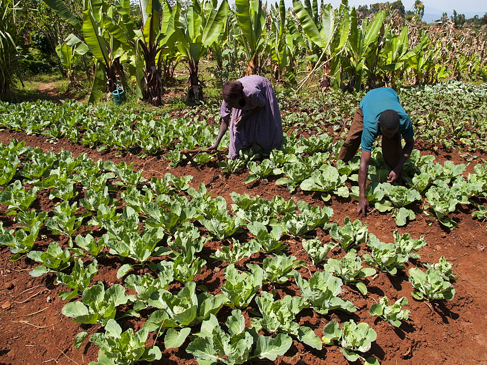 Husband and wife tend to their field of cabbages, Ethiopia, Africa