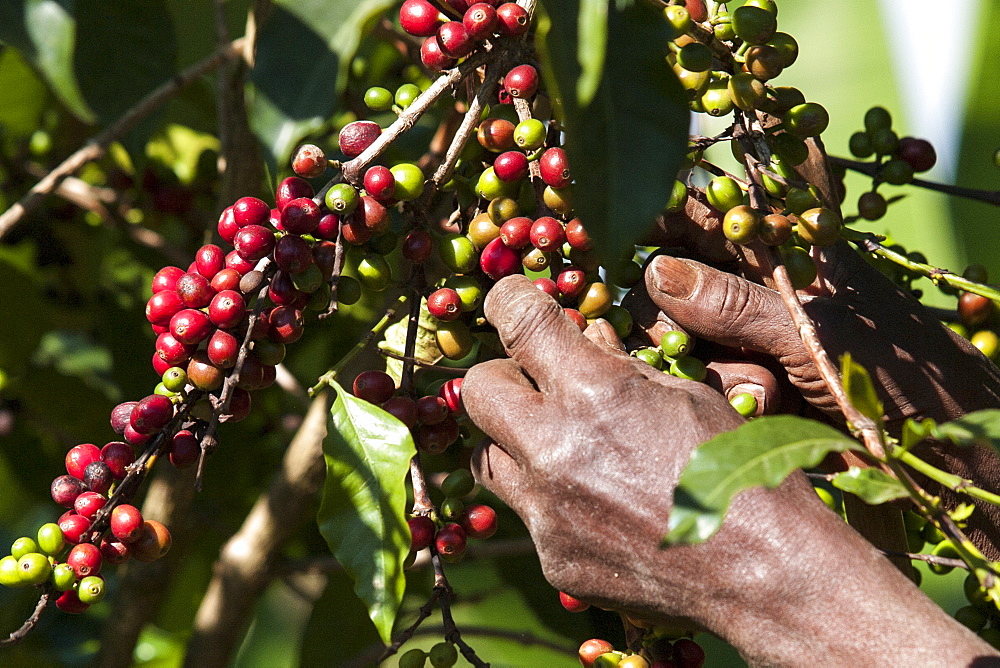 A man picks some red coffee beans from a coffee plant.