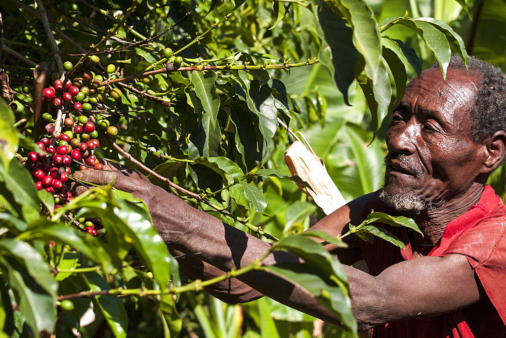 A man picks some red coffee beans from a coffee plant, Ethiopia, Africa - 1270-36
