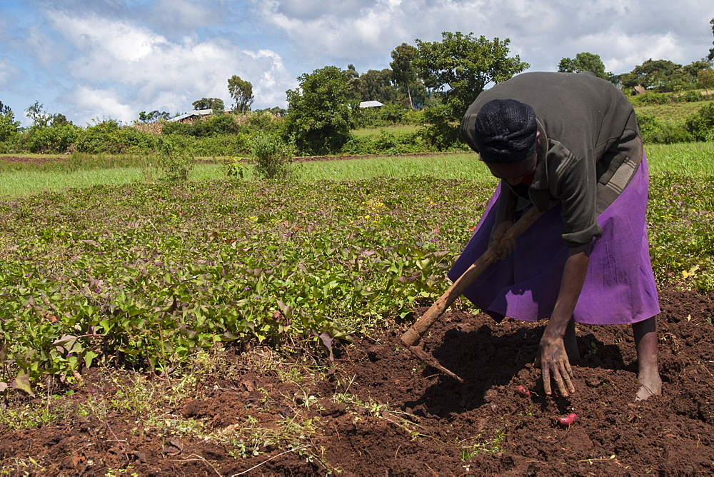 A woman harvesting sweet potatoes in a field.
