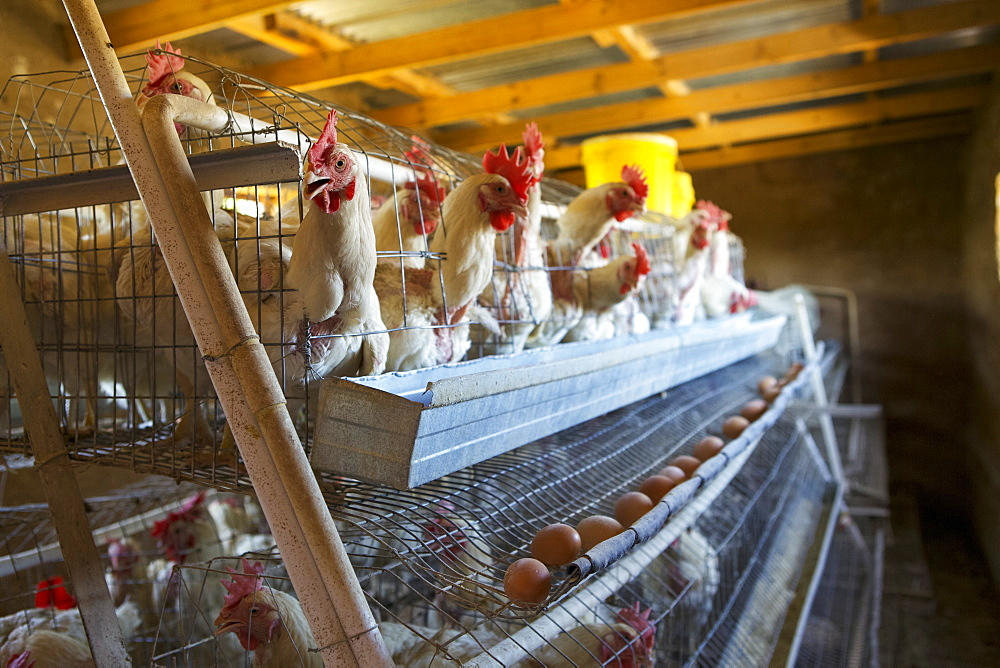 Chickens laying their eggs in cages. - 1270-80