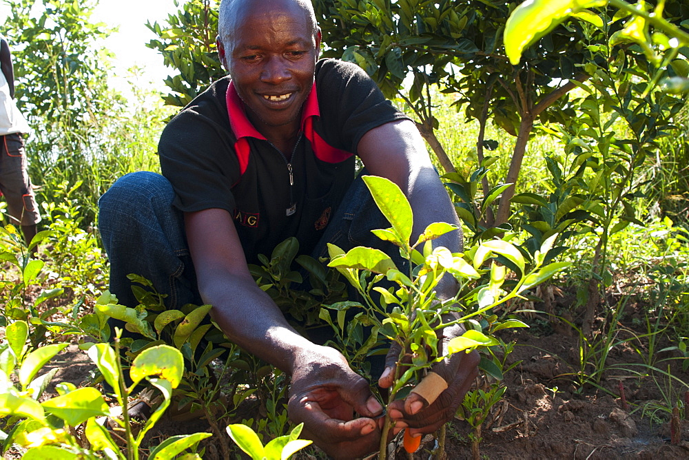 A male farmer grafting orange and lemon trees, Uganda, Africa