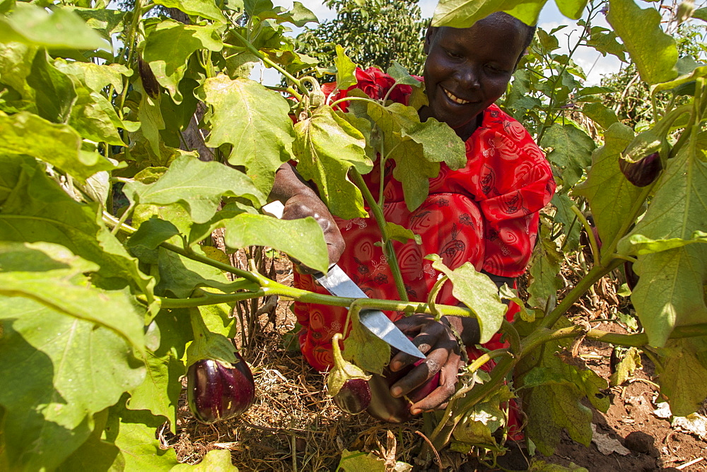 A female farmer harvests an aubergine (eggplant) using a knife, Uganda, Africa