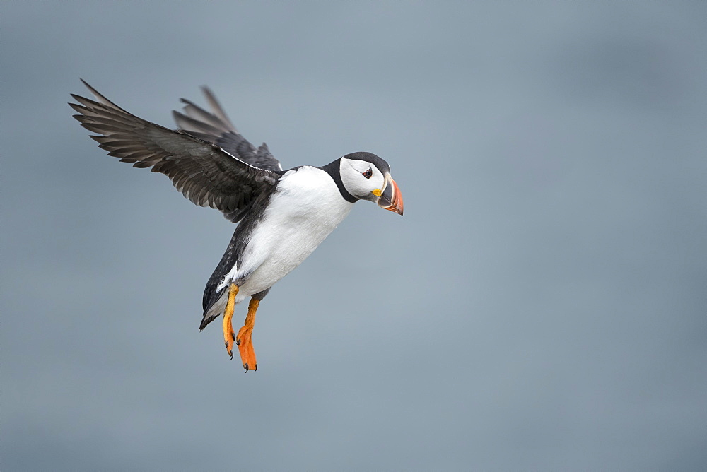 Puffin with cloudy sky flying over Inner Farne, The Farne Islands, Northumberland, England, United Kingdom, Europe