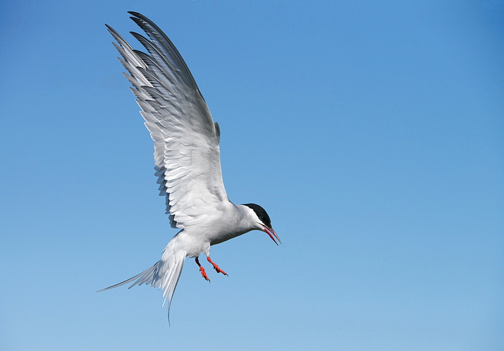 Arctic Tern (Sterna paradisaea) on the Farne Islands, Northumberland, United Kingdom.