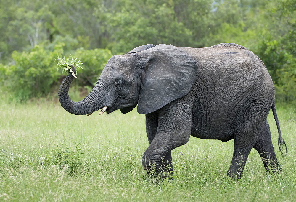 Female elephant (Loxodonta africana) holding foliage in her trunk in Sabi Sands, Greater Kruger, South Africa, Africa - 1271-4