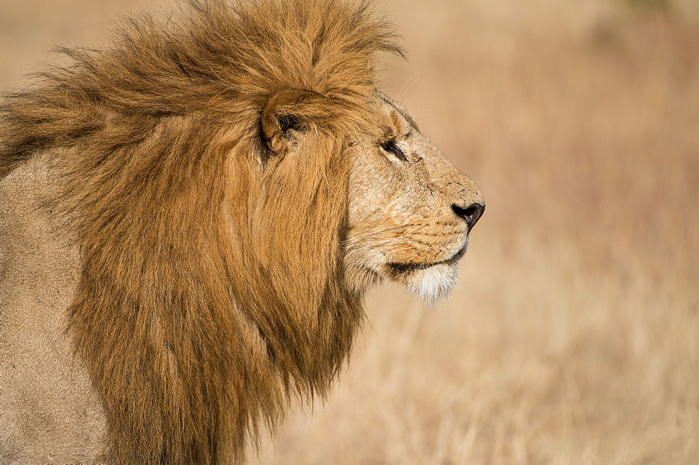 Male lion (Panthera Leo) of the Lemek pride in Lemek Conservancy, Masai Mara, Kenya, East Africa, Africa - 1271-8