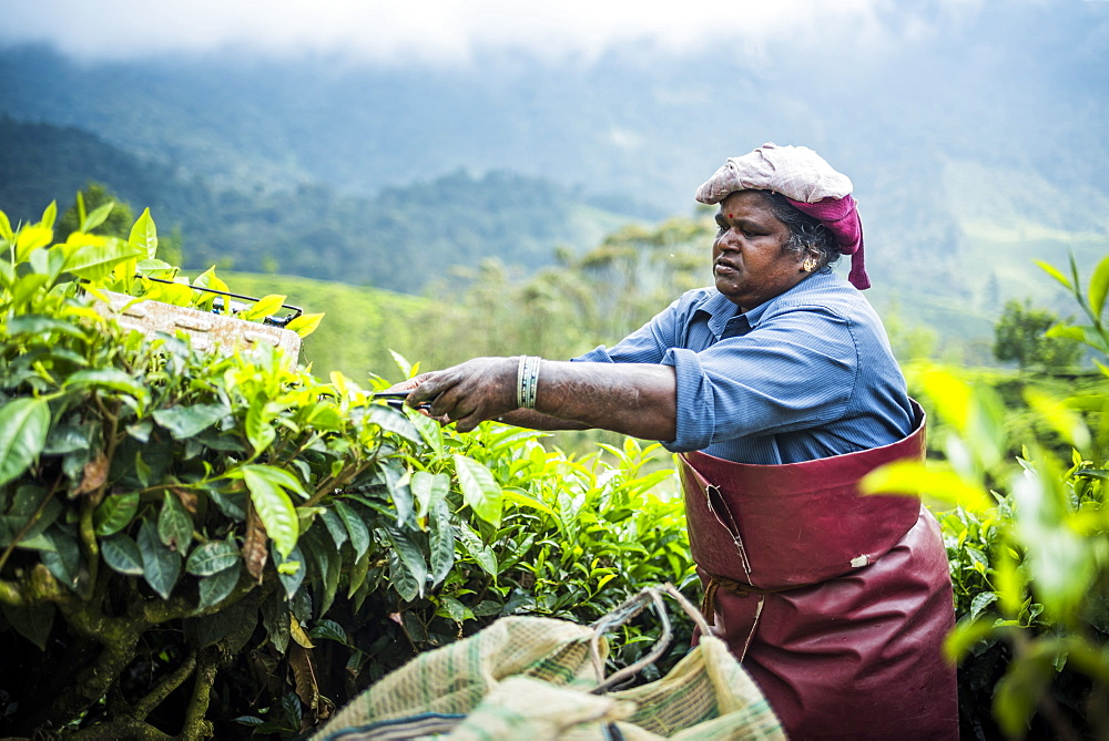 Tea pickers on a tea estate in the plantations near Munnar in the Western Ghats Mountains, Kerala, India, Asia