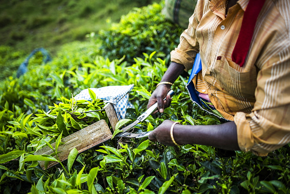 Tea pickers on a tea estate in the plantations near Munnar in the Western Ghats Mountains, Kerala, India, Asia - 1272-221
