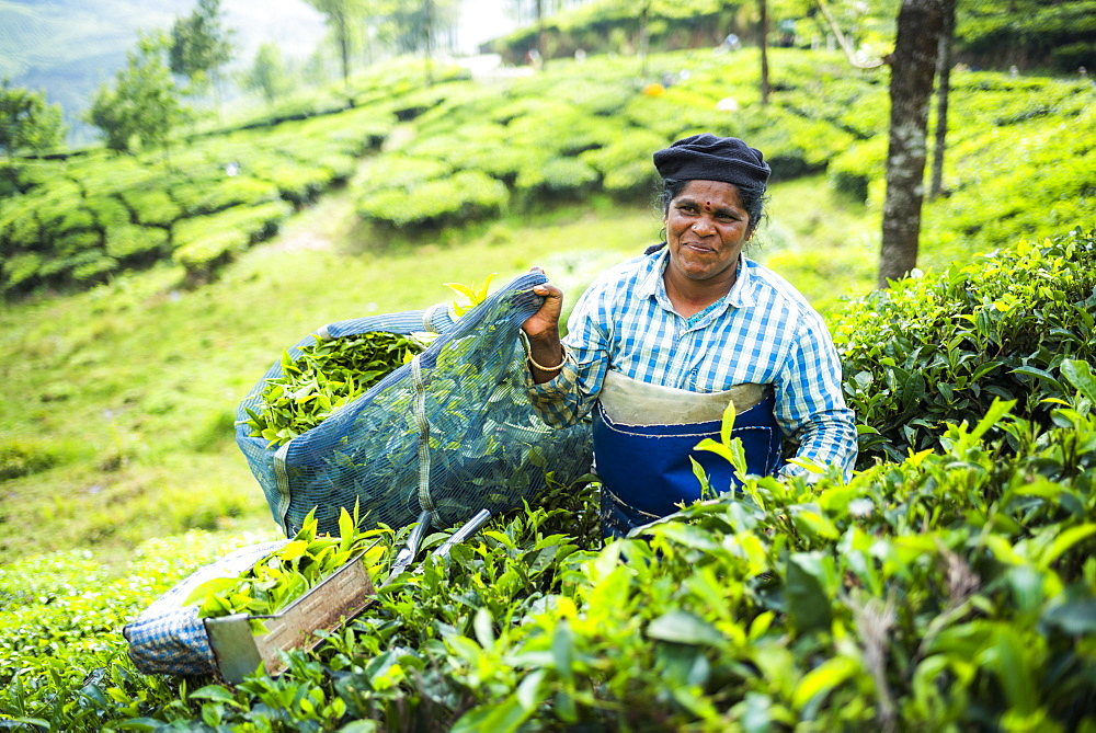 Tea pickers on a tea estate in the plantations near Munnar in the Western Ghats Mountains, Kerala, India, Asia - 1272-224