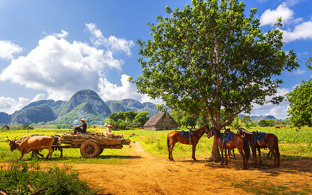 Farmer with oxcart carriage in Vinales, UNESCO, Pinar del Rio Province, Cuba, West Indies, Caribbean, Central America