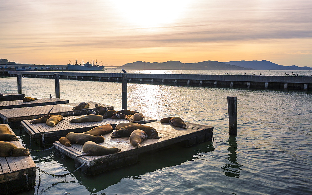 Sea Lions on Pier 39 in Fishermans Wharf, San Francisco, California, United States of America, North America