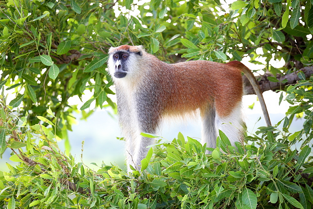 Alpha male Patas monkey on the lookout, Murchison Falls National Park, Uganda, Africa - 1279-1