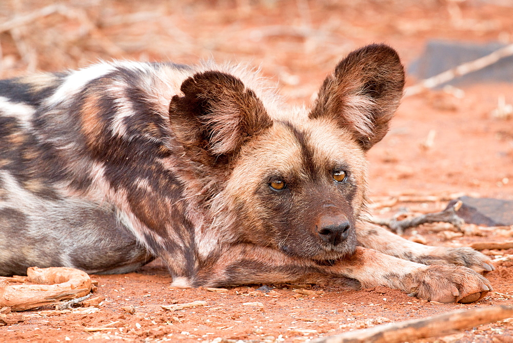 Postprandial African wild dog, Madikwe Game Reserve, South Africa.