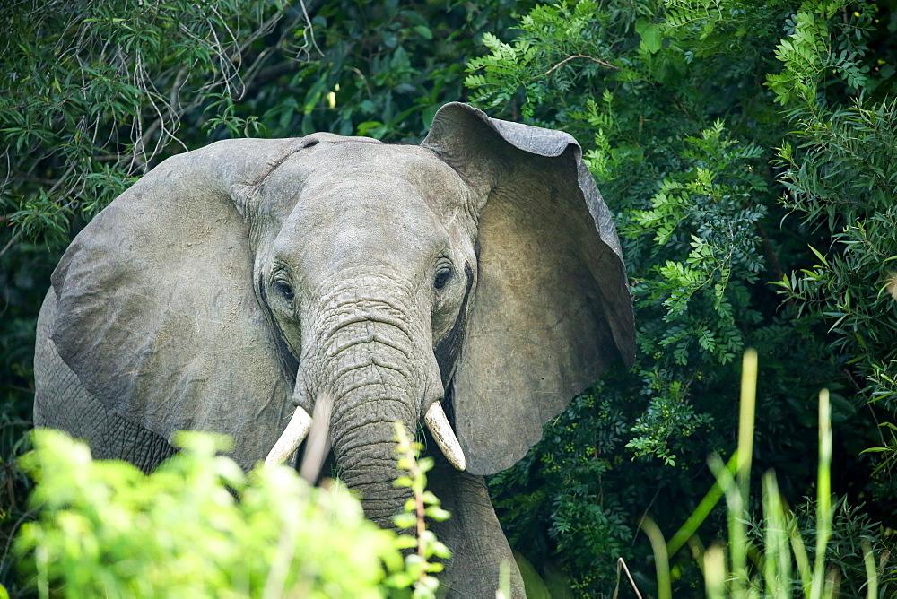 Angry elephant in Uganda's Murchison Falls National Park, Uganda, Africa - 1279-6