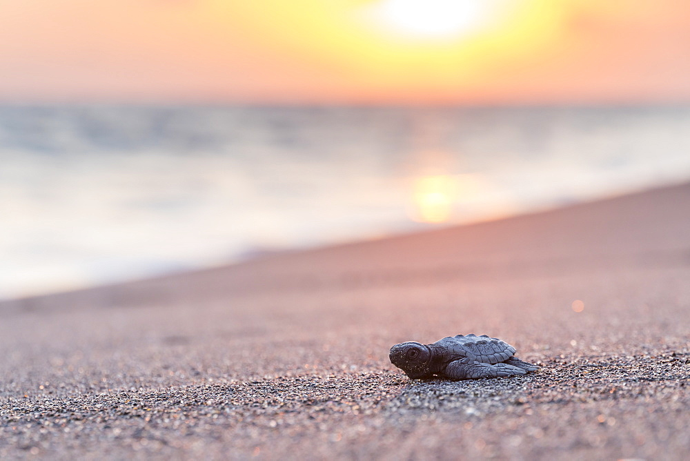Released baby turtle from the local hatchery on its way to the ocean, Monterrico, Guatemala, Central America