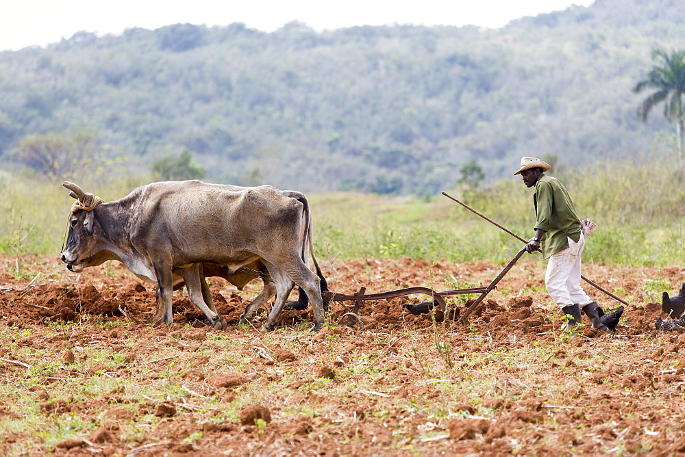 Tobacco farmer ploughing a tobacco field with oxen in Vinales, Pinar del Rio, Cuba, West Indies, Caribbean, Central America - 1284-96