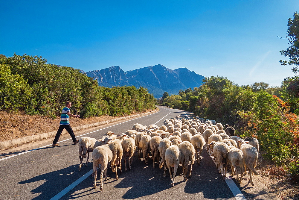 Shepherd with flock on road to Orgosolo in Sardinia, Italy, Europe