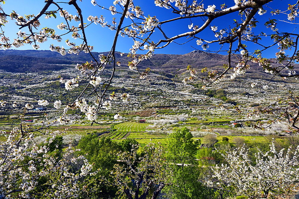 Cherry trees in bloom in the Jerte Valley, Extramadura, Spain, Europe