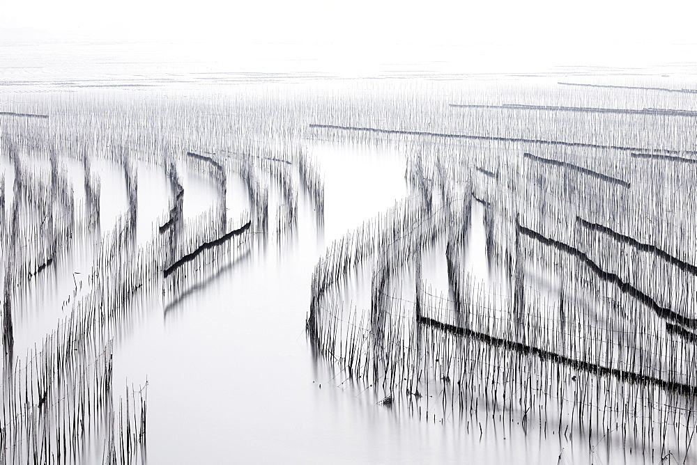 Shajiang S Bay with endless rows of bamboo sticks to dry seaweed and kelp, Fujian, China, Asia - 1294-54