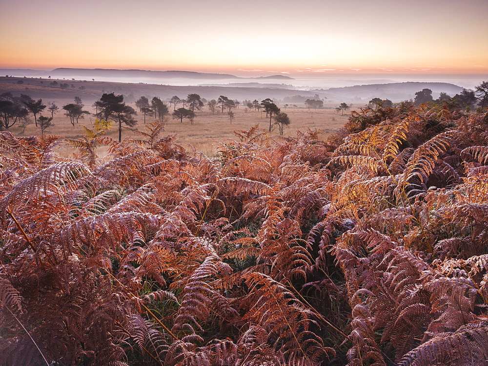 Looking over bracken towards distant mist on the heathland of Woodbury Common, near Exmouth, Devon, England, United Kingdom, Europe - 1295-119