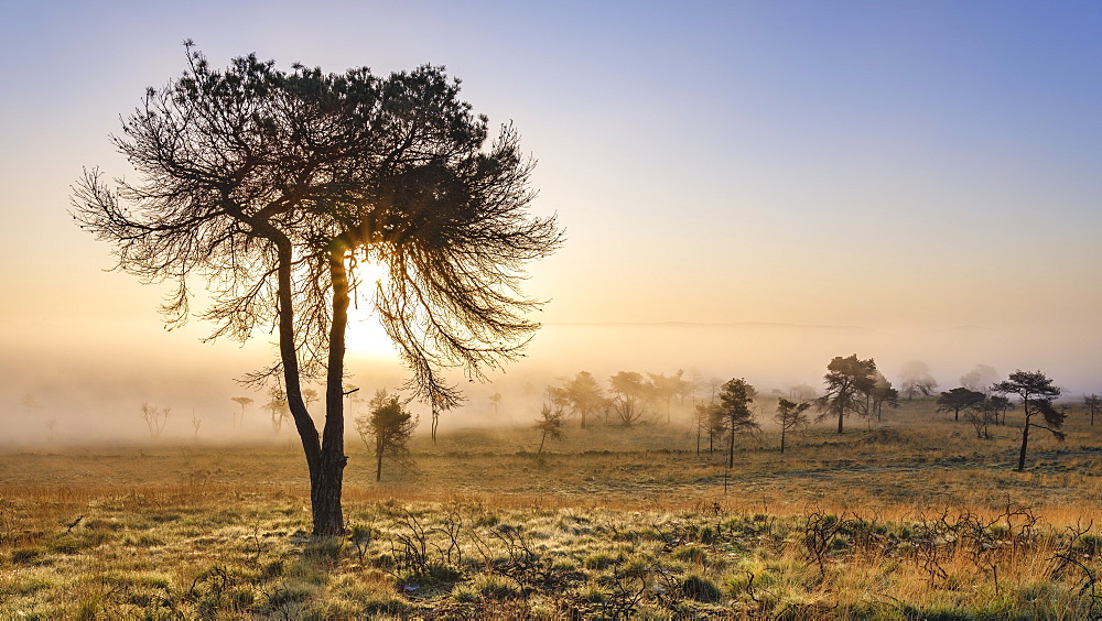 Misty sunrise and silhouetted pine tree on the heathland of Woodbury Common, near Exmouth, Devon, England, United Kingdom, Europe - 1295-44