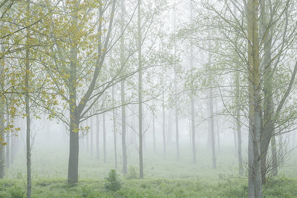 Thick fog amongst a tree plantation with fresh spring leaves at Clyst St. Mary, Devon, England, United Kingdom, Europe - 1295-49