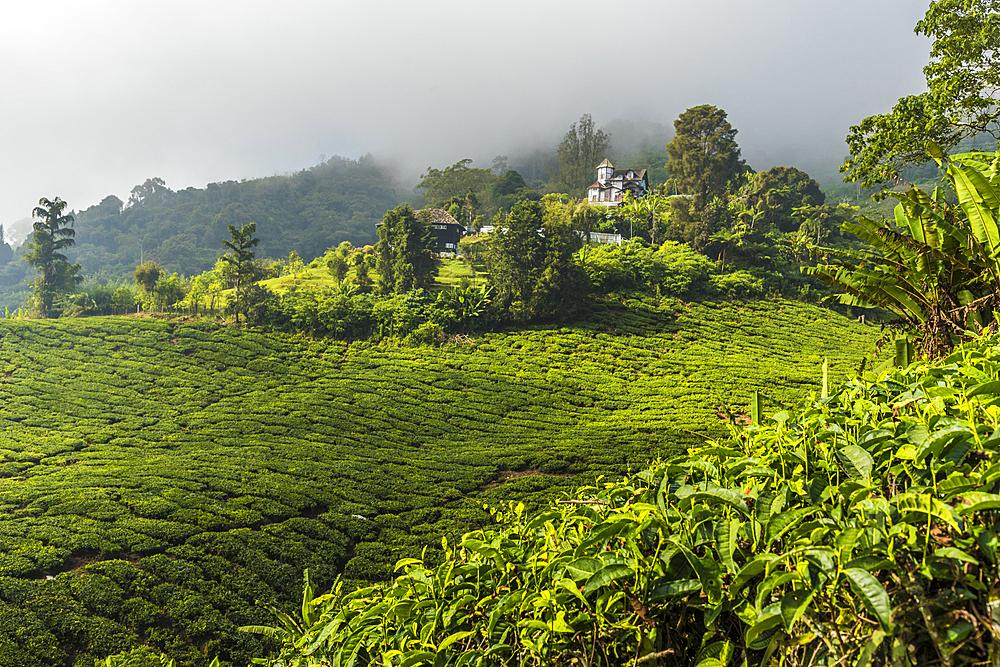 A tea plantation in Cameron Highlands, Pahang, Malaysia, Southeast Asia, Asia - 1297-1050