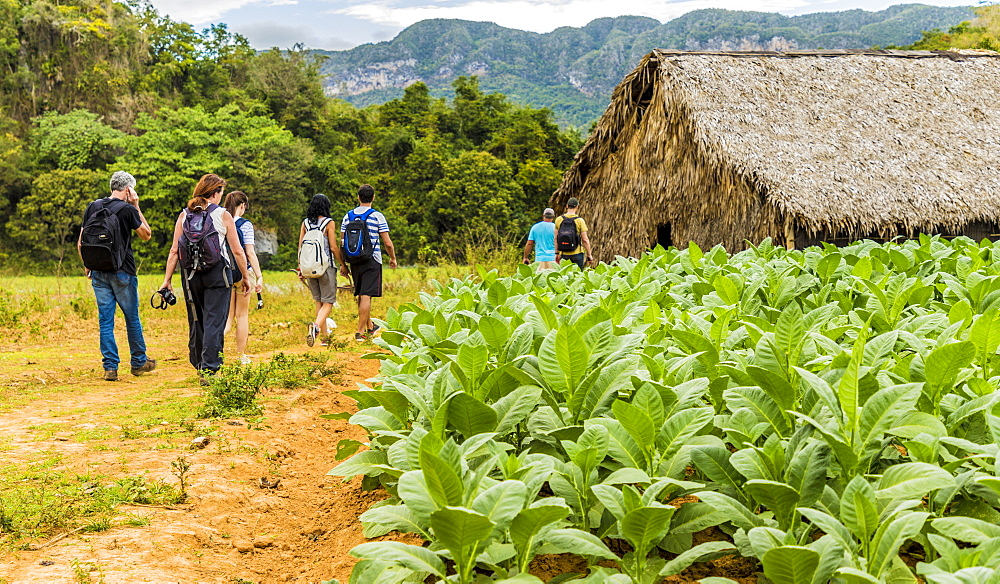 Tourists visiting a tobacco plantation in Vinales National Park, UNESCO World Heritage Site, Vinales Valley, Vinales, Cuba, West Indies, Caribbean, Central America