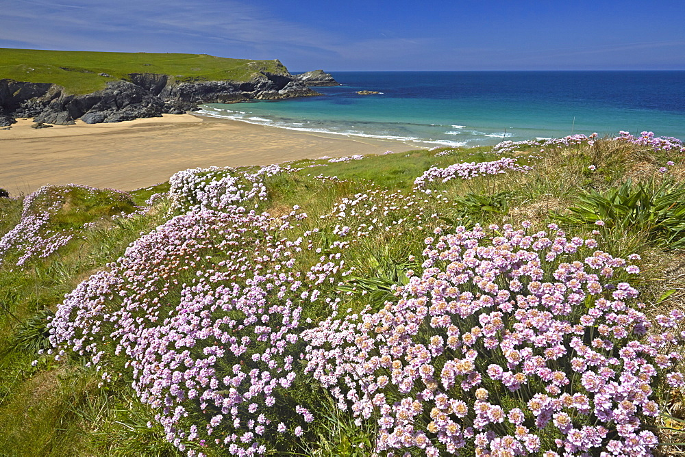 The sandy beach of Porth Joke seen from the thrift covered cliff tops, Cornwall, England, United Kingdom, Europe.