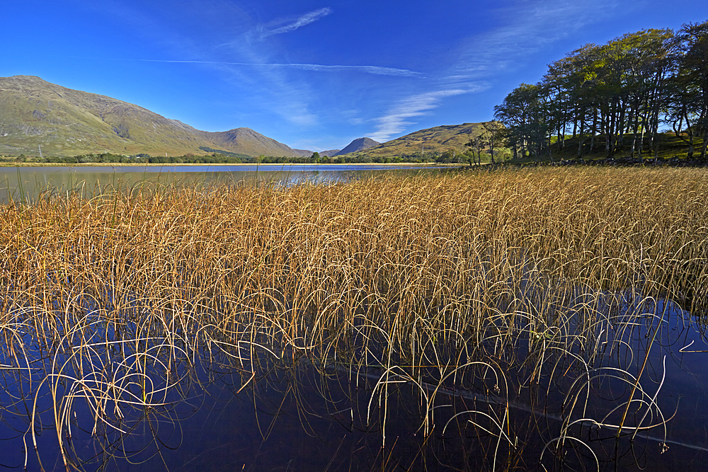 Reed beds on Loch Awe near Kilchurn Castle, Argyll and Bute, Scotland, United Kingdom, Europe