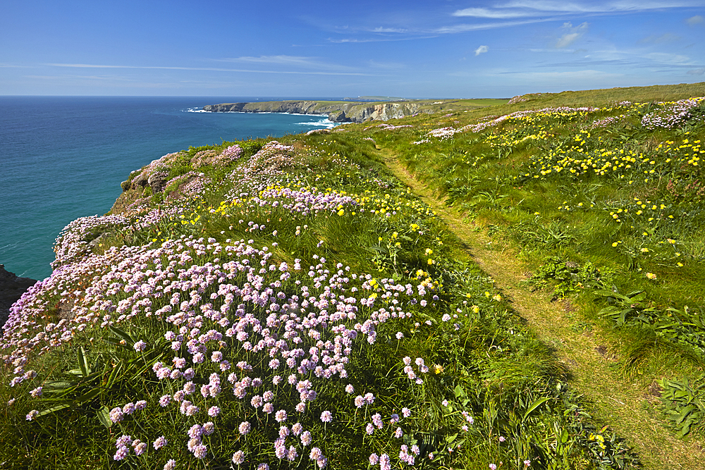 Thrift and Kidney Vetch growing by the coastal path at Carnewas near Bedruthan Steps, Cornwall, England, United Kingdom, Europe.