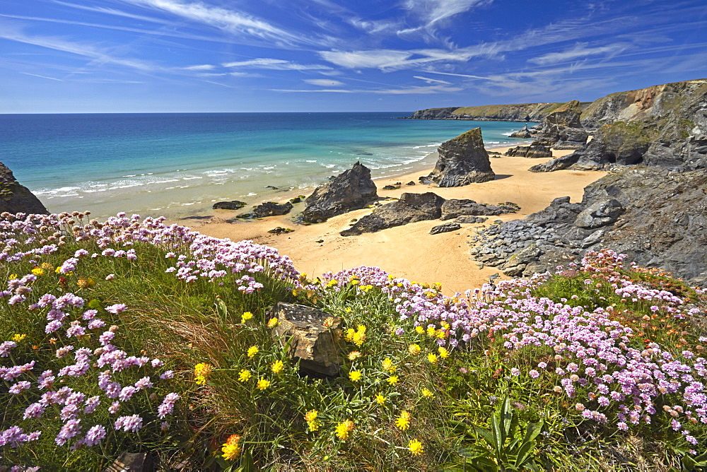 Thrift and Kidney Vetch above Bedruthan Steps, Cornwall, England, United Kingdom, Europe