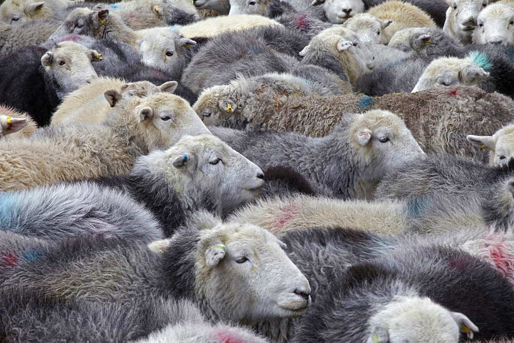 A flock of Herdwick sheep in Cumbria, England, United Kingdom, Europe