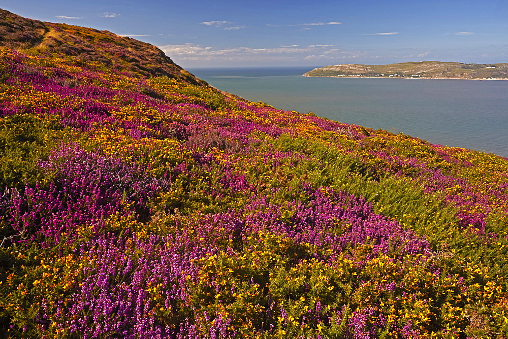 Bell heather and Western gorse looking across Conwy Bay, from Sychnant Pass above Conwy, North Wales, United Kingdom, Europe