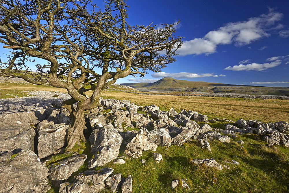 Ingleborough seen from Twistleton Scar, Yorkshire Dales National Park, North Yorkshire, England, United Kingdom, Europe