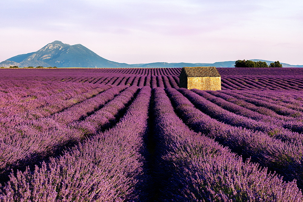 A small hut sits in a wonderful and in bloom lavender field in Valensole, Southern France.