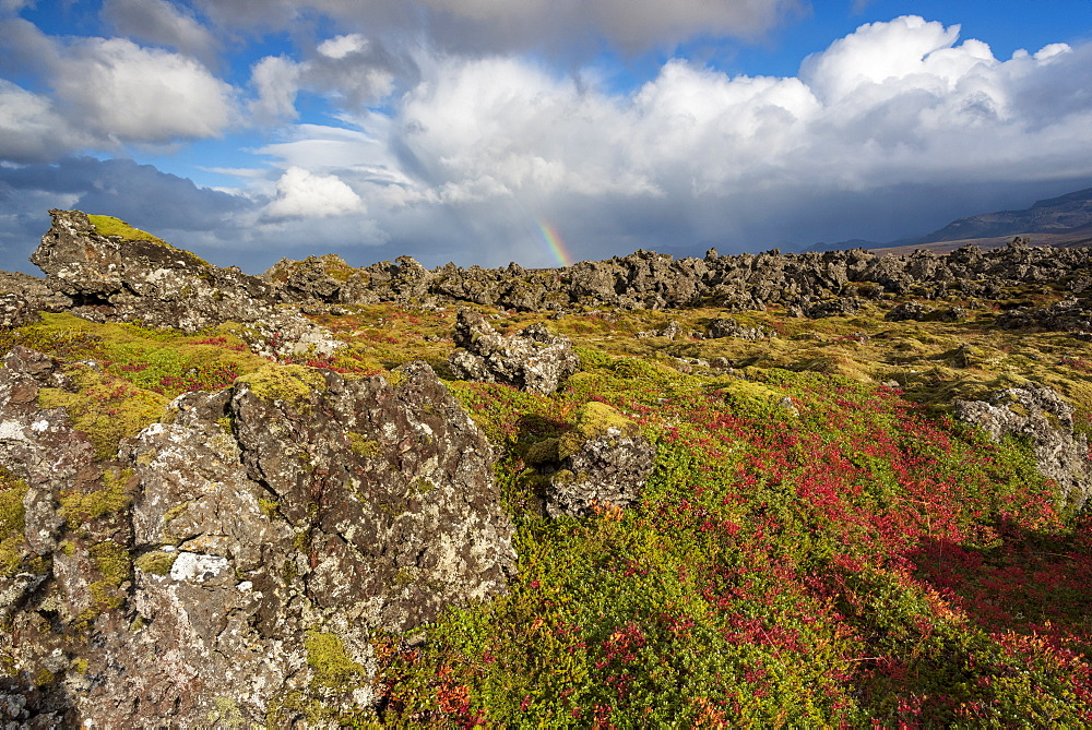 Rainbow over Icelandic autumn flora and moss covered lava field, Thingvellir National Park, UNESCO World Heritage Site, South Western Iceland, Iceland, Polar Regions