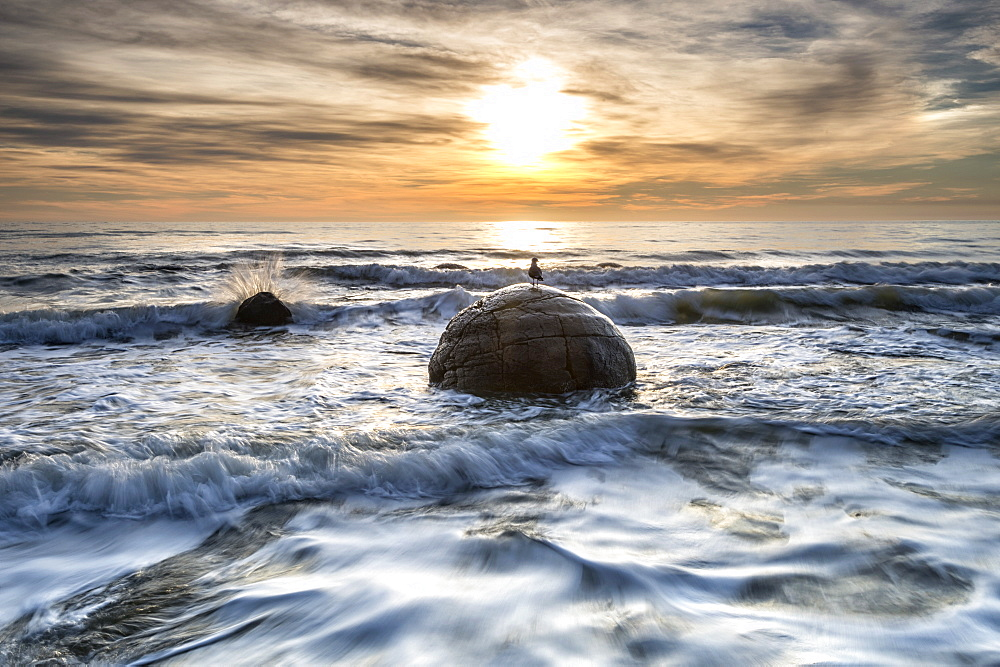 A seagull sat on a Moeraki Boulders at sunrise, Otago, South Island, New Zealand, Pacific