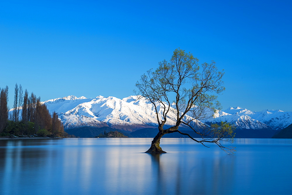 The Wanaka Tree at backed by snow capped mountains, Wanaka, Otago, South Island, New Zealand, Pacific