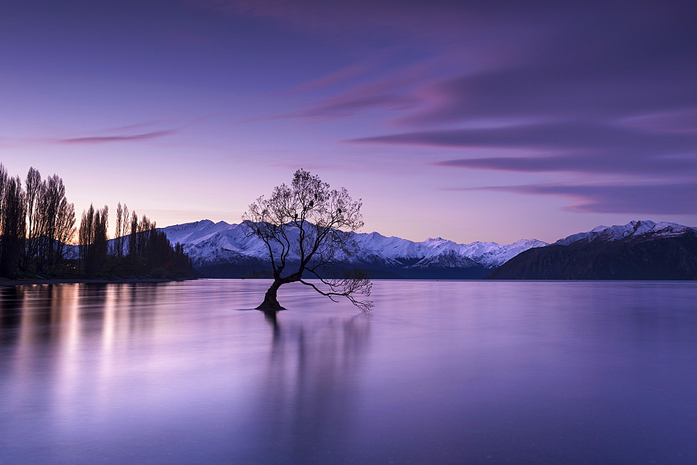 The Wanaka Tree at sunset backed by snow capped mountains, Wanaka, Otago, South Island, New Zealand, Pacific